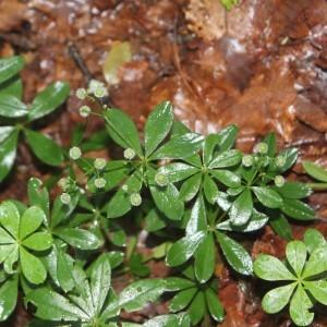 Photographie n°2107205 du taxon Galium odoratum (L.) Scop. [1771]