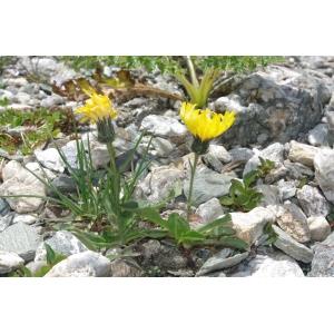 Hieracium cochlearioides Zahn [1921] (Épervière des Alpes)