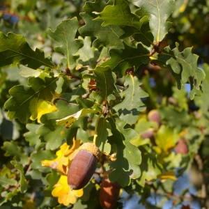 Photographie n°2107420 du taxon Quercus robur L. [1753]