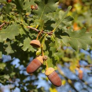 Photographie n°2107421 du taxon Quercus robur L. [1753]