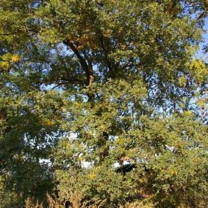 Photographie n°2107422 du taxon Quercus robur L. [1753]