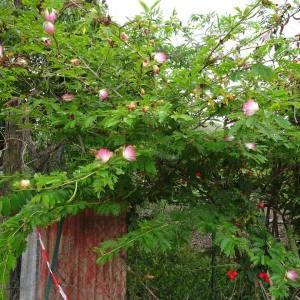 - Calliandra surinamensis Benth.