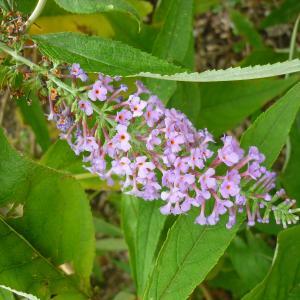 Photographie n°2110173 du taxon Buddléia arbre-aux-papillons