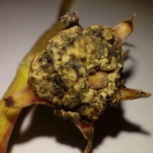 Nerium mascatense A.DC. [1844] (Laurier-rose)