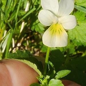 Photographie n°2110399 du taxon Viola arvensis Murray [1770]