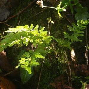 Photographie n°2110531 du taxon Asplenium adiantum-nigrum L.