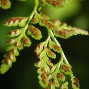 Photographie n°2110533 du taxon Asplenium adiantum-nigrum L.
