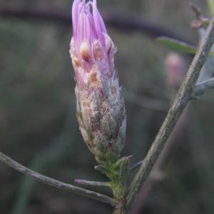 Photographie n°2110745 du taxon Centaurea paniculata L. [1753]