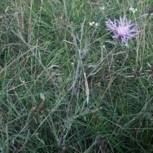 Photographie n°2110747 du taxon Centaurea paniculata L. [1753]