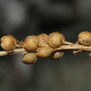 Photographie n°2111289 du taxon Antirrhinum bellidifolium L.