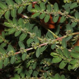 Photographie n°2111299 du taxon Euphorbia prostrata Aiton