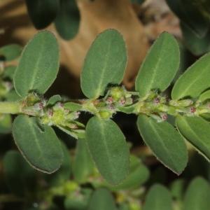 Photographie n°2111300 du taxon Euphorbia prostrata Aiton