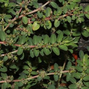 Photographie n°2111301 du taxon Euphorbia prostrata Aiton