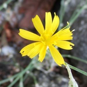 Photographie n°2111326 du taxon Chondrilla juncea L. [1753]