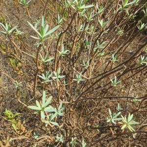 Photographie n°2111471 du taxon Euphorbia dendroides L. [1753]