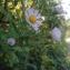 - Symphyotrichum subulatum var. squamatum (Spreng.) S.D.Sundb.