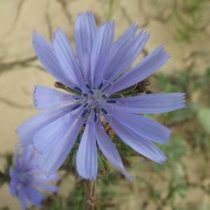 Photographie n°2111550 du taxon Cichorium intybus L. [1753]