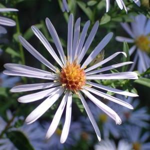 - Symphyotrichum lanceolatum (Willd.) G.L.Nesom [1995]