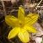 Christophe Gorla - Sternbergia lutea (L.) Ker Gawl. ex Spreng.