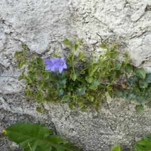 Photographie n°2112247 du taxon Campanula L.