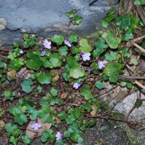 Photographie n°2112306 du taxon Cymbalaire des murailles