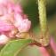 Liliane Roubaudi - Persicaria lapathifolia (L.) Delarbre [1800]