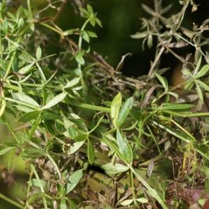 Photographie n°2112559 du taxon Galium aparine subsp. spurium (L.) Hartm.