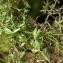 Liliane Roubaudi - Galium aparine subsp. spurium (L.) Hartm. [1846]