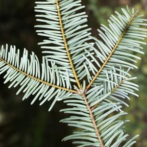 Photographie n°2112832 du taxon Abies grandis (Douglas ex D.Don) Lindl. [1833]