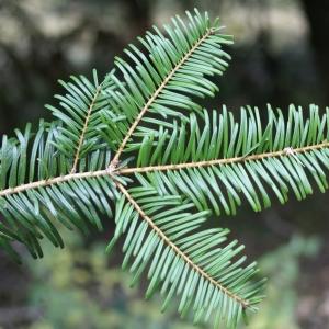 Photographie n°2112835 du taxon Abies grandis (Douglas ex D.Don) Lindl. [1833]
