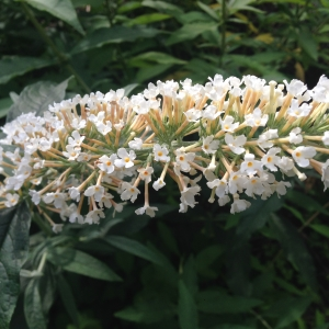 Photographie n°2112936 du taxon Buddléia arbre-aux-papillons