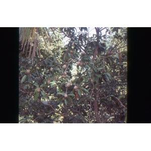 Manilkara zapota (L.) P. Van Royen (Bully tree)