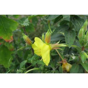 Onagra oakesiana (A.Gray) Britton (Onagre d'Oakes)