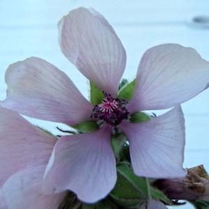 Photographie n°2113441 du taxon Althaea officinalis L. [1753]