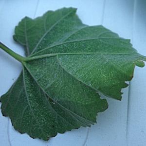 Photographie n°2113446 du taxon Althaea officinalis L. [1753]
