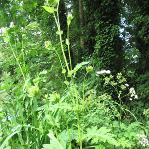 Photographie n°2113699 du taxon Cirsium oleraceum (L.) Scop. [1769]
