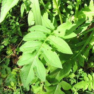 Photographie n°2113700 du taxon Cirsium oleraceum (L.) Scop. [1769]