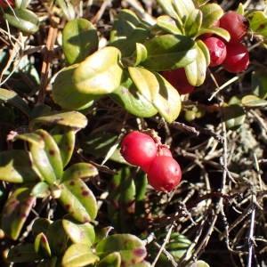 - Vaccinium vitis-idaea L. [1753]