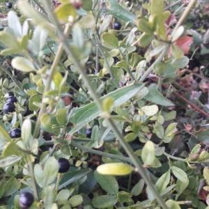 Photographie n°2114053 du taxon Jasminum fruticans L. [1753]
