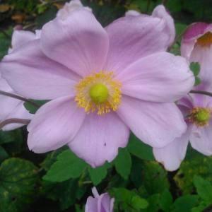 Anemone hupehensis (Lemoine) Lemoine (Anémone d'automne)