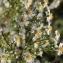 Barbara Mai - Symphyotrichum x salignum (Willd.) G.L.Nesom [1995]
