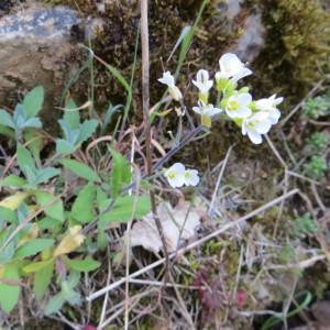 Photographie n°2114410 du taxon Arabis alpina L. [1753]