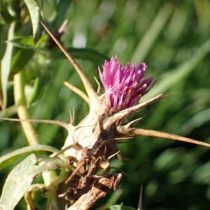 Photographie n°2114595 du taxon Centaurea calcitrapa L. [1753]