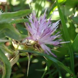Photographie n°2114597 du taxon Centaurea calcitrapa L. [1753]
