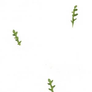Photographie n°2114607 du taxon Dysphania multifida (L.) Mosyakin & Clemants [2002]
