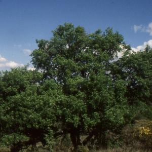 Photographie n°2114973 du taxon Acer monspessulanum proles martinii (Jord.) Rouy [1897]