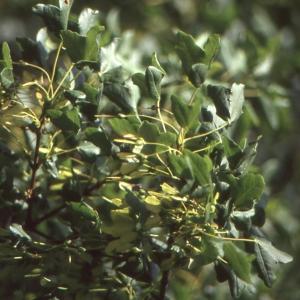 Photographie n°2114974 du taxon Acer monspessulanum proles martinii (Jord.) Rouy [1897]