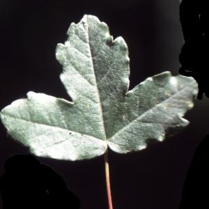 Photographie n°2114978 du taxon Acer x martinii Jord. [1852]