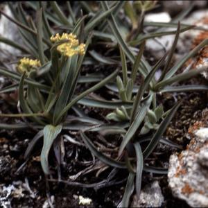 Photographie n°2115018 du taxon Bupleurum ranunculoides L.