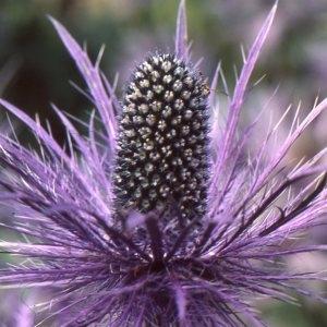 Photographie n°2115026 du taxon Eryngium alpinum L. [1753]